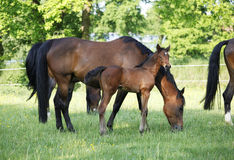 Foal with mare Royalty Free Stock Photos