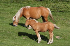 Foal and mare. Comtois horse (equus) in Pyrenees royalty free stock photo