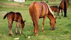 The foal and mare eat a grass on a pasture Royalty Free Stock Photos