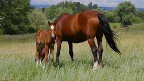 A foal and a mare graze on pasture.  stock video