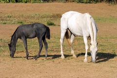 Foal with a mare grazing on summer meadow rural scene Stock Photography