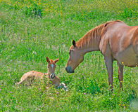 Foal and mare Royalty Free Stock Photo
