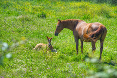 Foal and mare in a green meadow Royalty Free Stock Images
