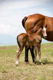 Foal and Mare Horses Stock Photography