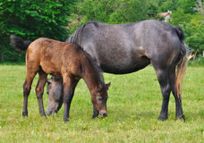 Foal and mare Royalty Free Stock Photography