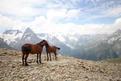 Foal with a mare in the mountains landscape Stock Photos