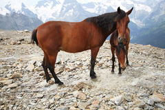 Foal with a mare in the mountains landscape Royalty Free Stock Images