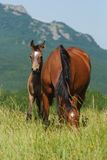 Foal and mare on the pasture Stock Photos