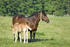 Foal and a mare Royalty Free Stock Photography