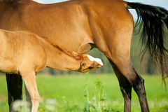 Foal and mare on a pasture closeup going to eat Royalty Free Stock Image