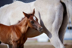 Foal with a mare. Royalty Free Stock Image