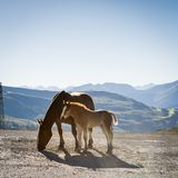 Foal and Mare Royalty Free Stock Photos