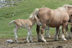 Foal and mare in Pyrenees Royalty Free Stock Photo