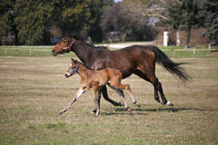 Foal and mare running together in springtime Stock Photos