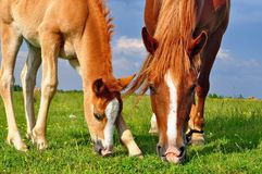 Foal with a mare on a summer pasture Stock Photos