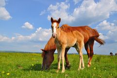 Foal with a mare on a summer pasture. Stock Photography