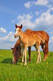 Foal with a mare on a summer pasture. Royalty Free Stock Photos