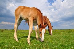 Foal with a mare on a summer pasture. Royalty Free Stock Image