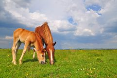 Foal with a mare on a summer pasture. Stock Photo