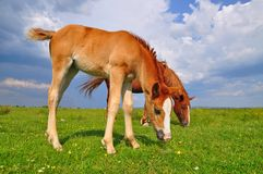 Foal with a mare on a summer pasture Royalty Free Stock Images