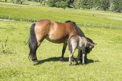 Foal with a mare Stock Photos
