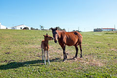 Foal with a mare on a summer pasture Stock Photo