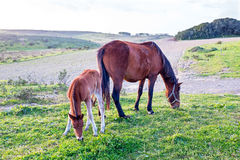 Foal with a mare on a summer pasture Royalty Free Stock Image