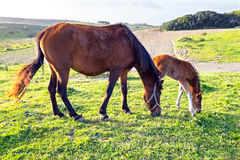 Foal with a mare on a summer pasture Stock Image
