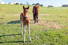 Foal with a mare on a summer pasture Royalty Free Stock Photography