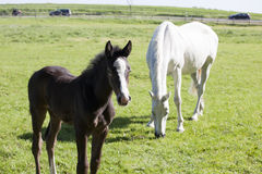 Foal with mare stock photo