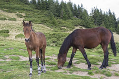 Foal and mare Royalty Free Stock Images