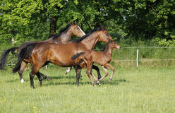 Foal with mares Royalty Free Stock Images