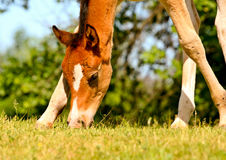 Foal on a meadow Royalty Free Stock Photo
