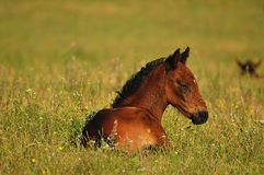 Foal in the meadow. Horses Stock Photos