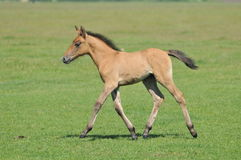Foal on meadow. Freedom,power Stock Photography