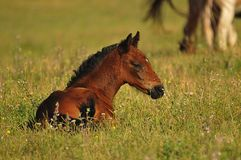 Foal on meadow. Freedom,power Royalty Free Stock Photography