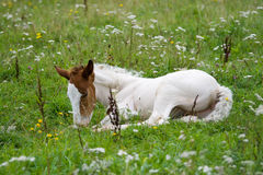 Foal on a meadow Stock Image