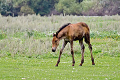 Foal in the meadow Royalty Free Stock Photos