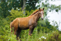 Foal in a meadow. Foal grazing in a meadow at summer time Royalty Free Stock Images