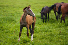 Foal in a meadow. Foal grazing in a meadow at summer time royalty free stock photo