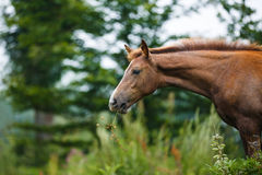 Foal in a meadow Royalty Free Stock Photography