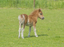 Foal in a meadow Stock Images