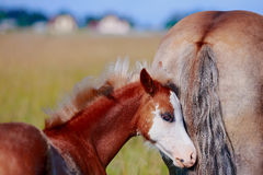 Foal on a meadow. Stock Images