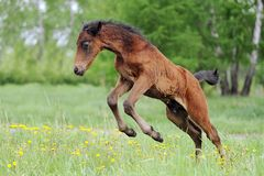 Foal in the meadow jumping Royalty Free Stock Images