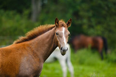 Foal in a meadow Royalty Free Stock Photo