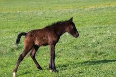Foal on a meadow Stock Photos
