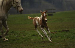 Foal Stock Image
