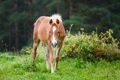 Foal on the meadow. The foal on the meadow in summer Royalty Free Stock Photos