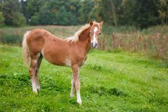 Foal on the meadow. The foal on the meadow in summer Royalty Free Stock Images