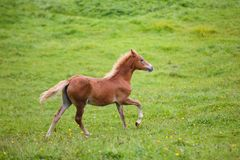 Foal on the meadow. The foal on the meadow in summer stock image